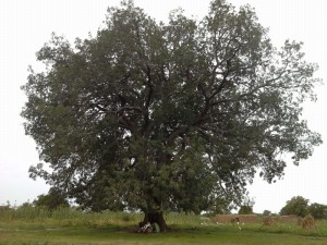 Mali y baobab